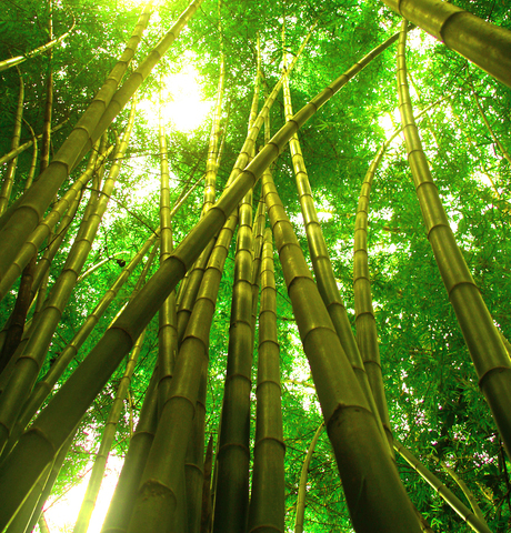 http://www.dreamstime.com/stock-images-bamboo-tree-3-image1083794